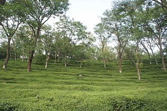 Kangra tea - Image: Mann Tea Estate 1