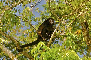 Mantled howler - A Mantled Howler Monkey (Alouatta palliata) calling, in Tortuguero, Costa Rica