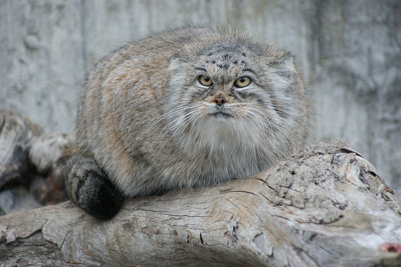 http://upload.wikimedia.org/wikipedia/commons/thumb/8/8c/Manul_close.jpg/800px-Manul_close.jpg