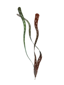 A reconstruction of Margaretia dorus from the Burgess Shale, which were once believed to be green algae, but are now understood to represent hemichordates. Margaretia dorus Reconstruction.png