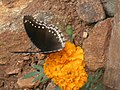 Marigold and butterfly-1.jpg