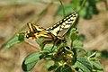 Mariposa rey 02 - papallona rei - papilio machaon (2438908731).jpg