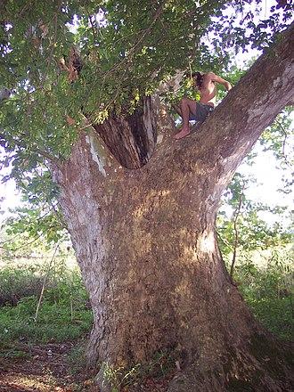 Platanus occidentalis - Image: Massive Sycamore