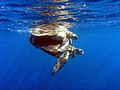 Mating turtles-Moheli.jpg