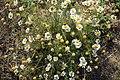 Matricaria chamomilla plant (10).jpg