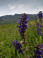 Meadow Clary (Salvia pratensis) (4650371459).jpg