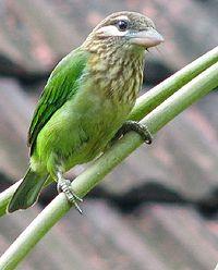 Megalaima viridis