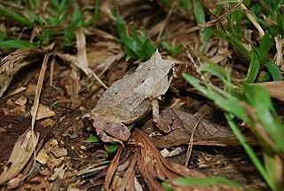 Palawan horned frog species of amphibian