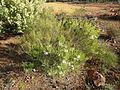 Melaleuca radula (habit).JPG