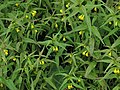 Melampyrum sylvaticum RF.jpg