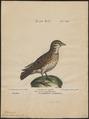 Melanocorypha calandra - 1700-1880 - Print - Iconographia Zoologica - Special Collections University of Amsterdam - UBA01 IZ16100347.tif