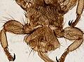 Melophagus ovinus (YPM IZ 093755).jpeg
