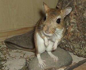 Persian jird - Persian jird, female, two and a half years old.