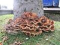 Meripilus giganteus - geograph.org.uk - 510110.jpg