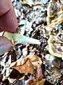 Meripilus giganteus 96216136.jpg