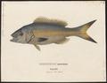 Mesoprion chrysurus - 1829 - Print - Iconographia Zoologica - Special Collections University of Amsterdam - UBA01 IZ12900291.tif