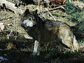 Mexican grey wolf cheyenne mountain zoo.JPG