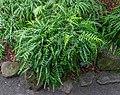 Microsorum scandens, Fern House (Christchurch Botanic Gardens), New Zealand 06.jpg