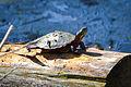 Midland Painted Turtle (Chrysemys picta marginata) (17098808466).jpg