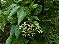 Mikania micrantha, bitter vine,climbing hemp vine, American rope. Flower. From Ezhupunna - 1.jpg
