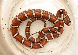 Milk snake - Young milk snake found in central Tennessee that had just eaten a lizard