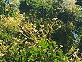 Millingtonia hortensis Inflorescence.jpg