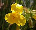 Mimulus guttatus flower 2003-03-13.jpg