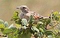 Mirafra angolensis, Tembe, Birding Weto, a (cropped).jpg