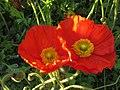 Mohn Blumen - panoramio.jpg