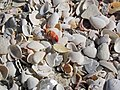 Mollusc shells on marine beach (Cayo Costa Island, Florida, USA) 3 (23700817493).jpg