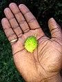 Momordica dioica, bristly balsam-pear, prickly carolaho, spine gourd, teasle gourd,ben-pavel, erimapasel .jpg