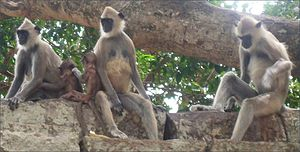 Infanticide - Infanticide occurs in other animals, such as in Hanuman langurs.