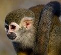 Monkey (6701520109).jpg