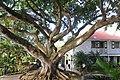 Montpelier Plantation Inn ficus tree, St John Figtree Parish, Nevis - panoramio.jpg