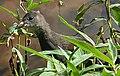 Moorhen (Gallinula chloropus) - geograph.org.uk - 229813.jpg