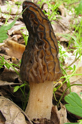 Description de l'image Morchella elata 83537.jpg.