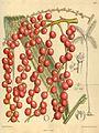 Morenia corallina 139-8527.jpg