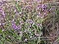 Moricandia arvensis Planta 2010-3-14 DehesaBoyaldePuertollano.jpg