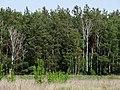 Moshchun forest.jpg