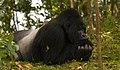 Mountain Gorilla in Volcanoes Park, Rwanda.jpg