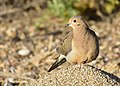 Mourning dove on Seedskadee National Wildlife Refuge (35061753650).jpg
