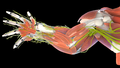 Mouse forelimb mesh.png