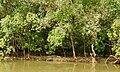Mugger Crocodile Crocodylus palustris Zuari Goa by Dr. Raju Kasambe DSCN0812 (8).jpg