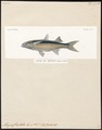 Mugil chaptalii - 1700-1880 - Print - Iconographia Zoologica - Special Collections University of Amsterdam - UBA01 IZ13800067.tif