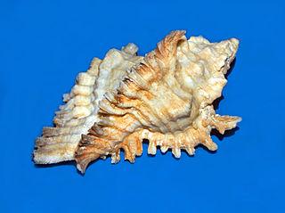<i>Chicoreus florifer</i> species of mollusc