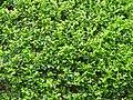 Murraya paniculata - Kolkata 2004-07-13 01773.JPG