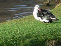 Muscovy duck, Parc Menai - geograph.org.uk - 667555.jpg
