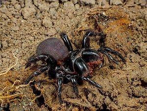 Spiders of Australia - Mygalomorphae Actinopodidae Missulena bradleyi Eastern Mouse Spider The Gap Brisbane