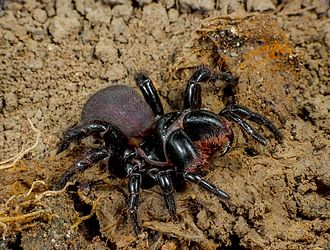 Spiders of Australia - Mygalomorphae Actinopodidae Missulena bradleyi Eastern Mouse Spider The Gap Brisbane