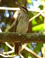 Myiodynastes maculatus (Atrapamoscas maculado) (15900004093).jpg